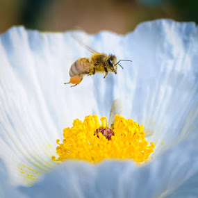 Hover Bee by Bob Barrett - Animals Insects & Spiders ( macro, pollen, flowers & plants, bee, insect )