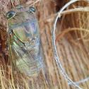 morning cicada