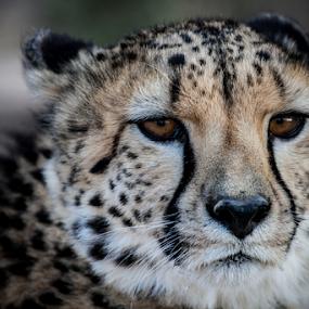 Cheetah by Werner Booysen - Animals Lions, Tigers & Big Cats ( wild animal, wild, cheetah, wild life, portrait photographers, nature, wildlife, nature photography, portrait, werner booysen, animal,  )