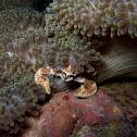 porcelaim anemone crab