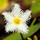 Snowflake Waterlily