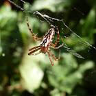 Enamel Spider -female