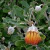 Wild Rose or Tamala Rose