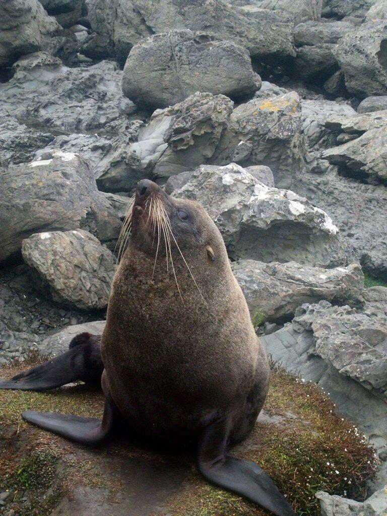 Kekeno (NZ fur seal)