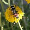 Escarabajo longicorne