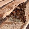 Mariposa Vanesa de los cardos, Painted lady butterfly