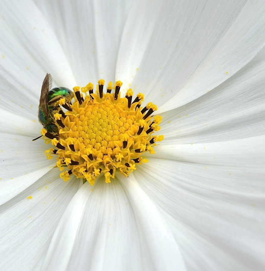 Green Bee On A White Flower by Ed Hanson - Flowers Single Flower ( bee, whitr, green, flower )
