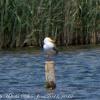 Yellow-legged Gull; Gaviota Patiamarilla