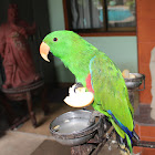 Eclectus Parrot - Male