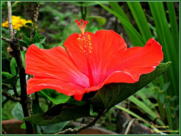 Red Hibiscus Gumamela Project Noah