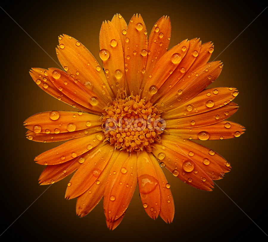 Calendula Upfront by Yatin Pandit - Nature Up Close Flowers - 2011-2013