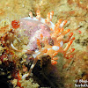 Double-ringed Flabellina