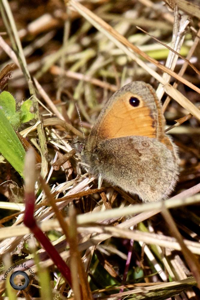 Small Heath, nêspera