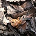 Cicada Nymph Shell