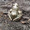 Common Frog  (Bruine kikker)