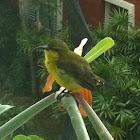 Yellow-breasted sunbird