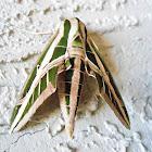 Banded Sphynx moth