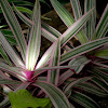 oyster plant, Moses-in-the-Cradle