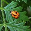 Pupa lady bug