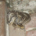 San Diego Gopher Snake (Juvenile)