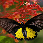 Southern Birdwing in flight