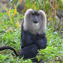 the lion-tailed macaque