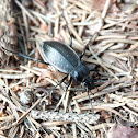 Forest ground beetle - Střevlík zahradní