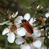 Jewel Beetle -2