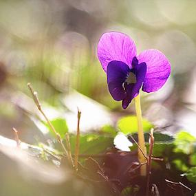 Velvet Violet by Ruby Stephens - Flowers Flowers in the Wild ( wild flower, purple, simple, violet, sunlight )