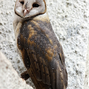 barn owl by Sanket Warudkar - Animals Birds