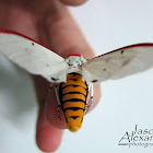 White Winged Red Costa Tiger Moth