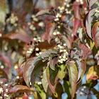 Gray dogwood Cornus racemosa