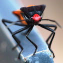 4-Coloured Milk Vine Bug