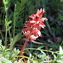 Striped Coral-Root Orchid