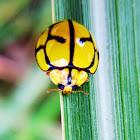Netty Ladybird Beetle
