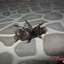 Palm stem borer beetle
