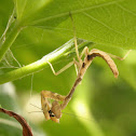 California Mantis (juvenile male)