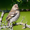 Common Chaffinch (Juv.)