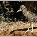 Night Heron(Juvenile)