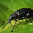 Black Weevil