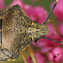 Mottled Shieldbug