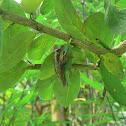 Dark eared tree frog