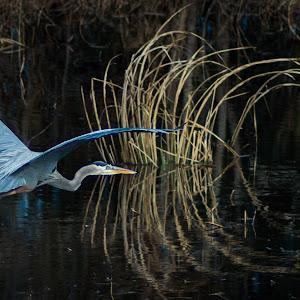 Egret at Savannah.jpg