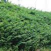 Japanese knotweed / Japanse duizendknoop