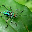 katydid/cricket