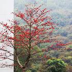 Cotton Tree (木棉樹、英雄木)