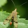 Scorpion fly (male)