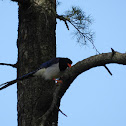Yellow Billed Blue Magpie