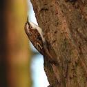 Eurasian Treecreeper - Šoupálek dlouhoprstý
