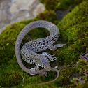 Delalande's Sandveld Lizard